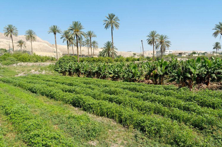 agricultural-fields-near-jericho-tell-es-sultan-with-palm-trees-tb051106849