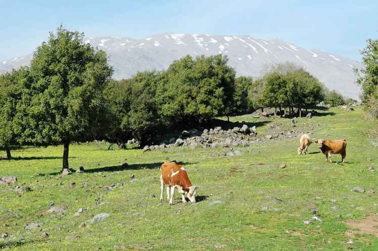 Cows of Bashan, Mt Hermon in Background (Courtesy of Pictorial Library of Bible Lands)