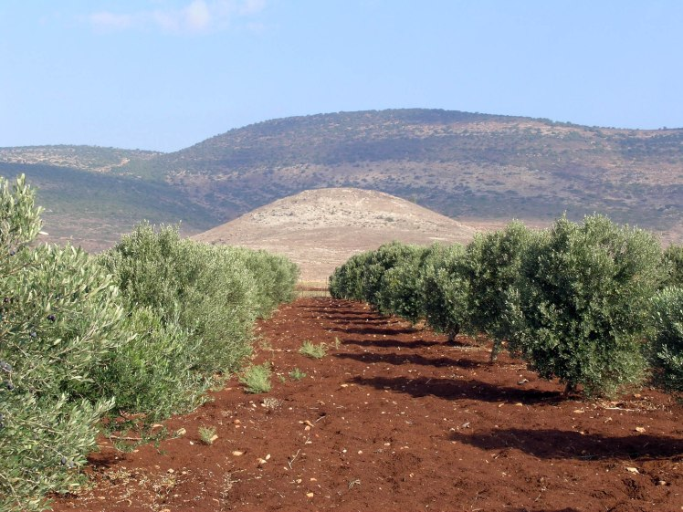 Olive Trees Near Cana (Courtesy of Pictorial Library of Bible Lands)