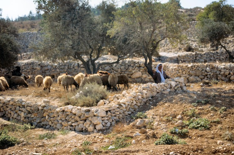 shepherd-with-flock-near-bethlehem-tbs43309009