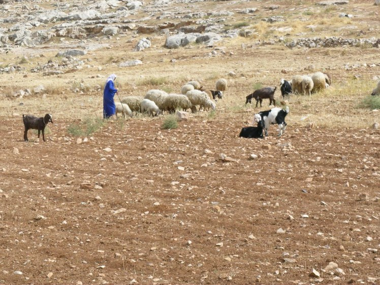 shepherd-with-sheep-east-of-bethlehem-tb052105021