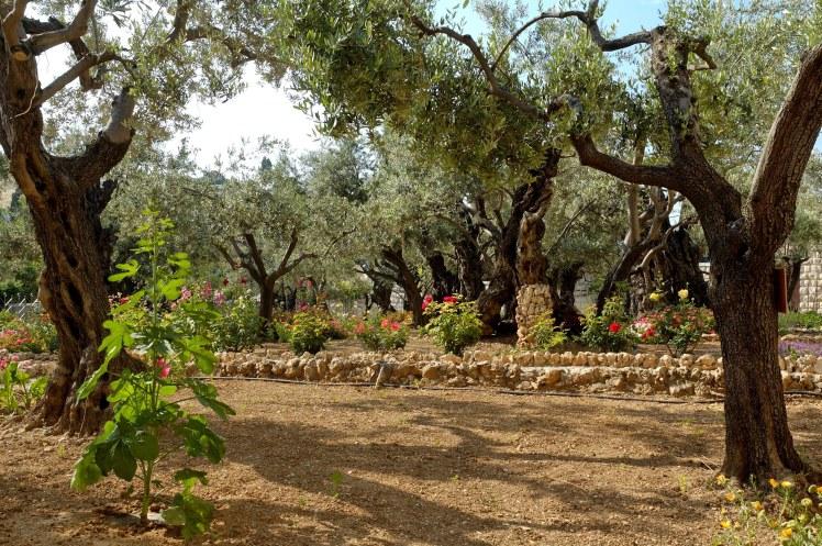 Garden of Gethsemane olive trees, tb051906418