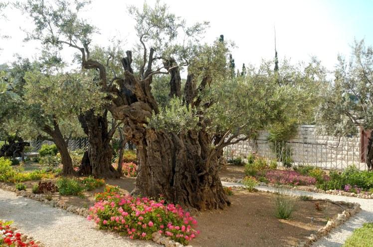 Garden of Gethsemane olive trees, tb051906422