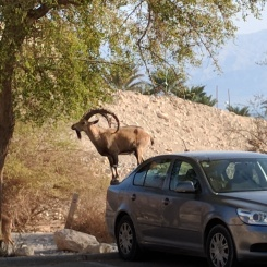 Ibex at En Gedi, using a car to gather leaves